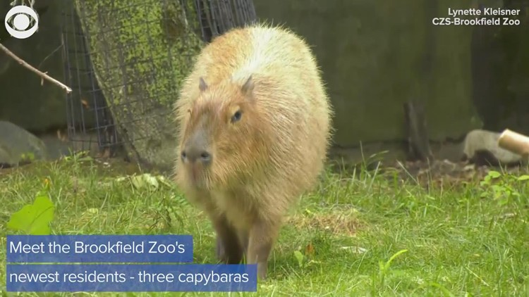 World's largest rodents are newest residents at Brookfield Zoo in Illinois