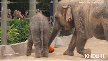Baby elephant Tilly, mom Tess crush and enjoy pumpkins at Houston Zoo