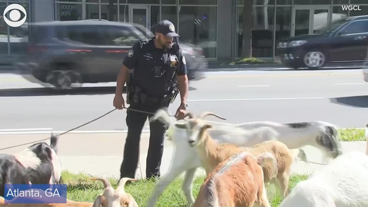 Goats on the loose in Atlanta!