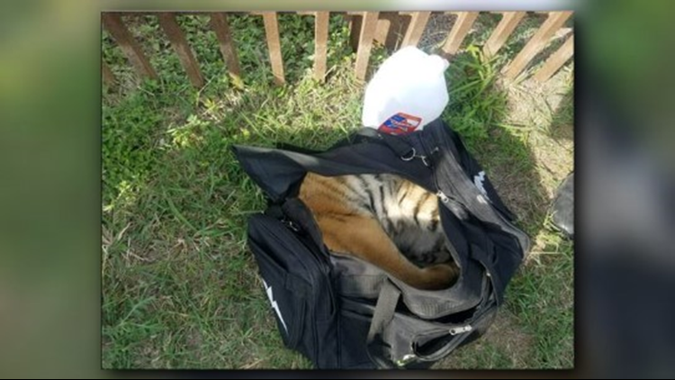 The young cub can be seen sleeping inside the small duffel bag on Monday.