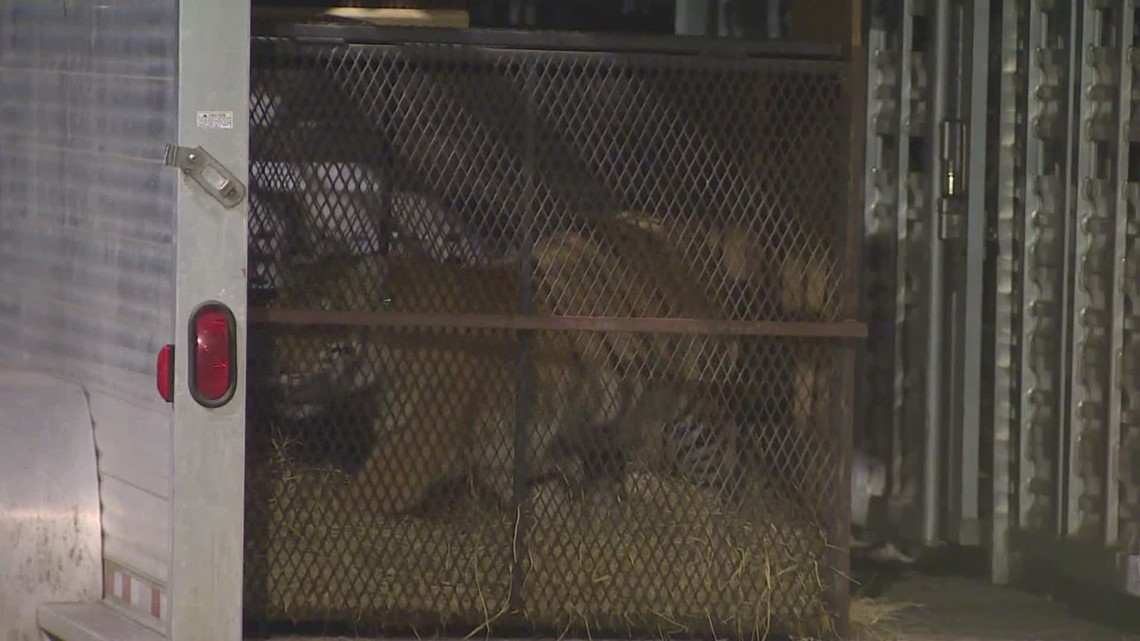 'India' the tiger seen in west Houston being moved to an animal sanctuary near Dallas