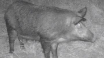Feral hogs are such a big problem in The Woodlands, the township is hiring a consultant