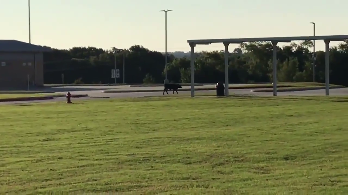 Cow On Lake Creek High School Campus Just Mooooving