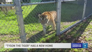 'Tyson the tiger' has a new home