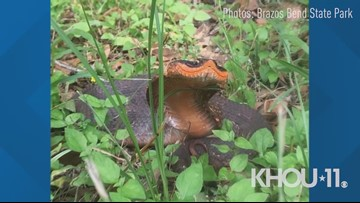 Spotted in Brazos Bend State Park: This snake may look dangerous, but it's not venomous to humans