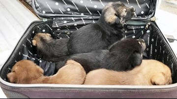 Five puppies found abandoned in suitcase at Fort Bend County park