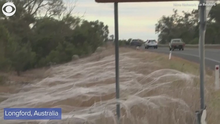 Spiders spin webs on tall grass and street signs in Australia