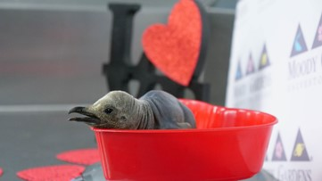 Cute chick: Newborn King penguin warms hearts at Moody Gardens