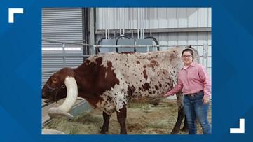 West Texas steer holds Guinness World Record for longest horns