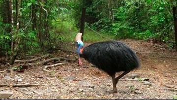Large, flightless bird attacks and kills Florida owner