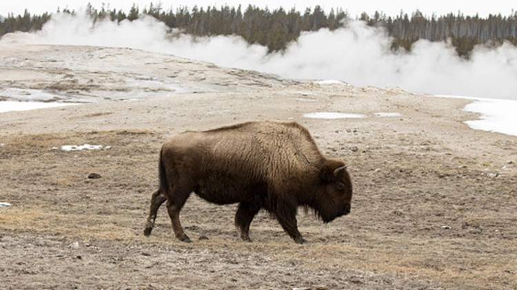 California woman gored multiple times by Yellowstone bison