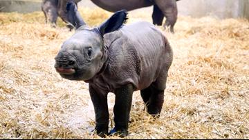 New baby rhino at Denver Zoo will melt your heart