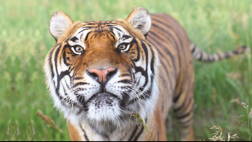 39 tigers, 3 bears from the 'Tiger King's' roadside zoo are now in Colorado