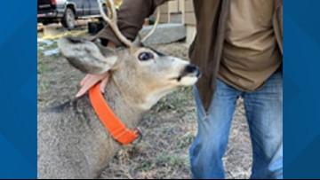 Deer wearing dog collar gores Franktown man