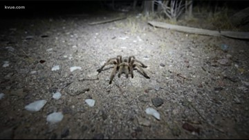 Watch your step: Fist-sized tarantulas spotted in Central Texas