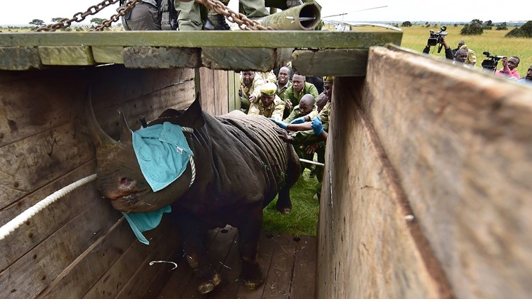 Kenya Wildlife Services (KWS) translocation team members assist to load a black male rhinoceros into a transport crate as one of three individuals about to be translocated, in Nairobi National Park, on June 26, 2018.
