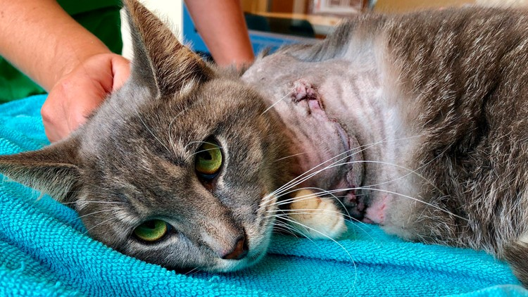 Cat with firecrackers strapped to paw has leg amputated