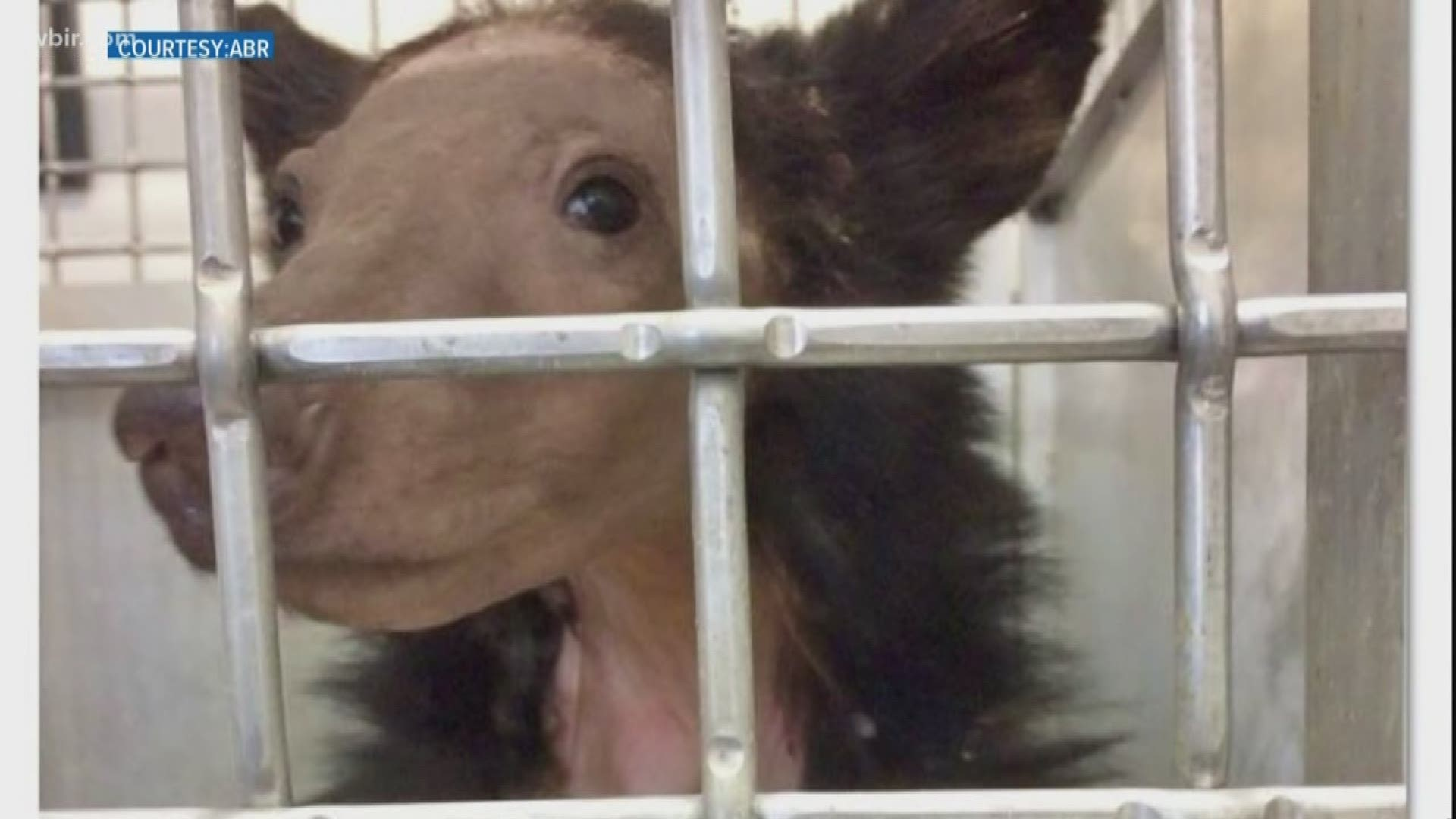 Miracle Bear: ABRs Hartley Bear makes miraculous