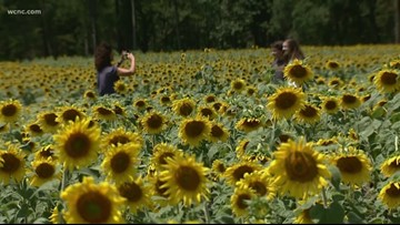 'Our gift to the community'   Farmer grows field of sunflowers to bring others joy