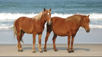 North Carolina's wild horses know how to survive a hurricane