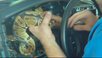 North Texas mechanic removes ball python from inside dash panel of truck