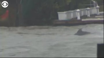 Dolphins Spotted Frolicking in Florence Flood Waters
