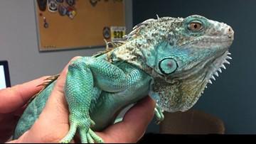 Man accused of throwing iguana in restaurant