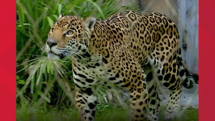 Man injured by jaguar at Jacksonville zoo