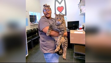 26-pound cat at Philadelphia shelter looking for a home