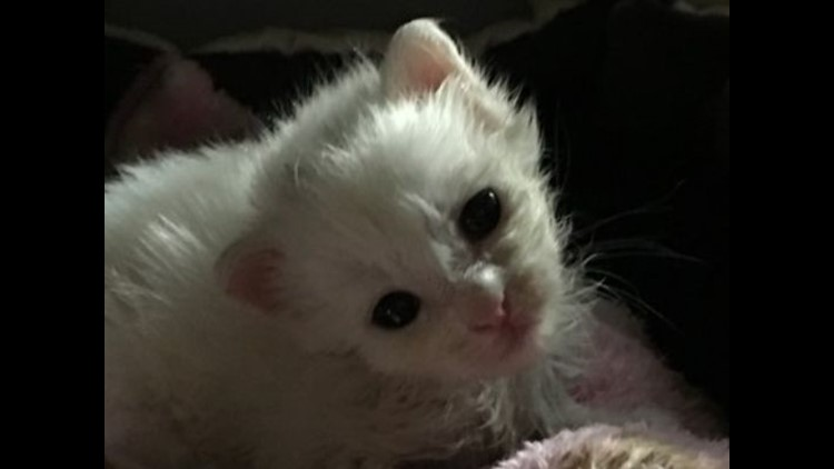 <p>Coconut, the white, fluffy kitten found off Bayshore Drive on Sunday in Naples, turned into an internet sensation this week.</p>