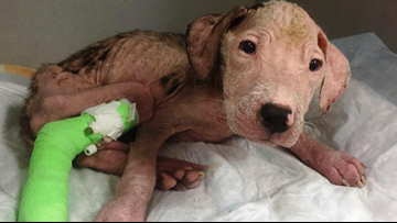 A dog blood donation saved this pit bull's life