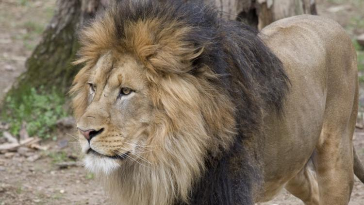 Lions, tigers test 'presumptive positive' for COVID-19 at Smithsonian's National Zoo